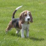 Beagle Temperament - (Alles was Sie wissen müssen!)