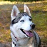Hunde mit blauen Augen