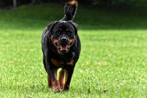 Aggressive Hunderassen