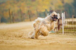 Afghanischer Windhund Temperament