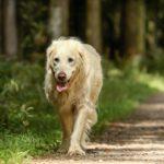Golden Retriever Temperament & Charakter verstehen!