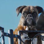 Wachhunde - (Liste der 5 besten Wachhunde für Ihre Familie)