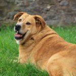 Fettleibigkeit bei Hunden