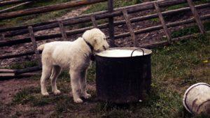 Dürfen Hunde Milch trinken