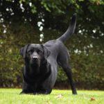 Labrador Retriever temperament - So ist der Labrador wirklich!
