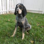 Hunde mit kurzem Fell - (15 süße Kurzhaar Hunderassen)