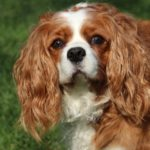 Hunde mit langen Ohren: Liste der 16 beliebtesten Langohrhunde