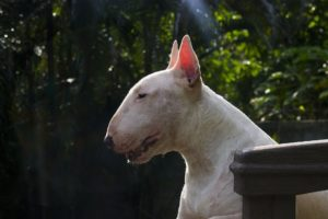 Hunde mit spitzen Ohren
