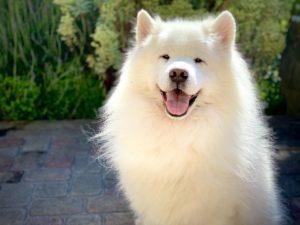Weißer Hund mit spitzen Ohren