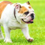 Hunde mit kurzen Beinen - (8 süße kurzbeinige Hunde)