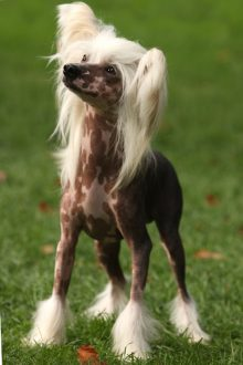 Haarlose Hunderassen
