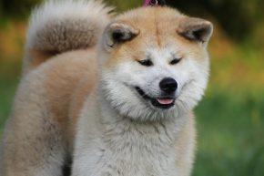 Akita Temperament