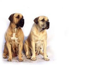 Hunde mit Falten