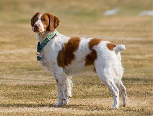 muskulöse hunde
