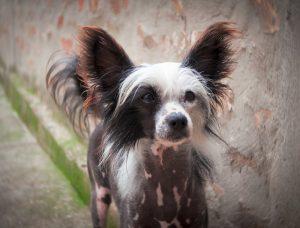 Haarlose Hunderassen: Liste der 9 beliebtesten Hunde ohne Fell