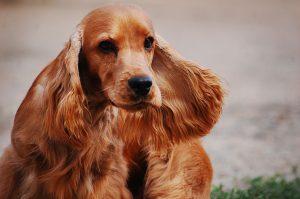 Hunde mit langen Ohren