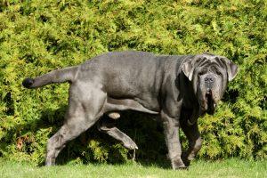 muskulöser hund