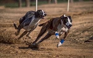 Schnelle Hunderassen - (Liste der 25 schnellsten Hunderassen)