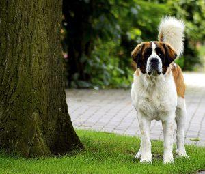 muskulöse hunderassen